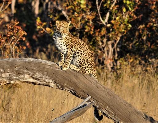 daffy leopard june 2018