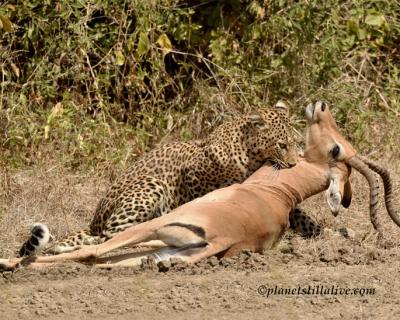 Leopard spotting at Tena Tena