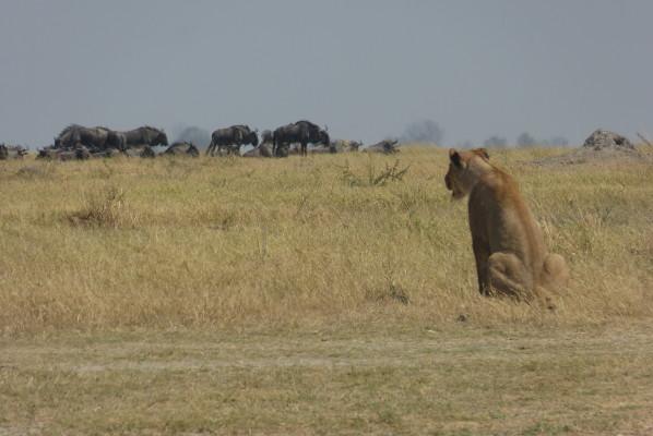 Lioness & Wildebeest