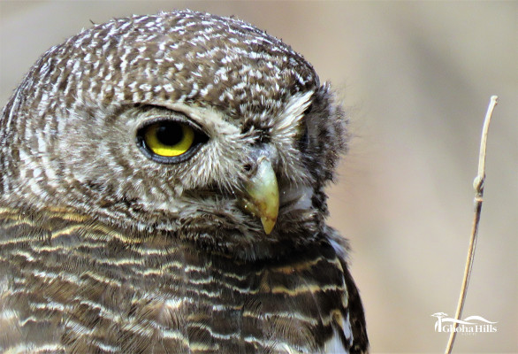 African-Barred-Owlet-1