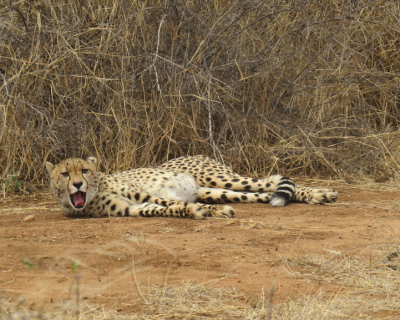Patsy The Cheetah Tastes Freedom at Garonga
