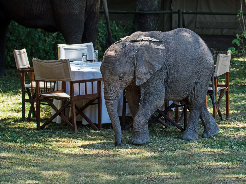 The safari comes to you at Little Governors' Camp