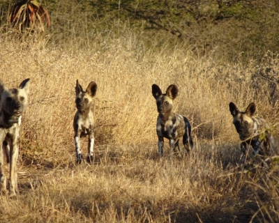 New Wild Dog Pups at Leopard Mountain