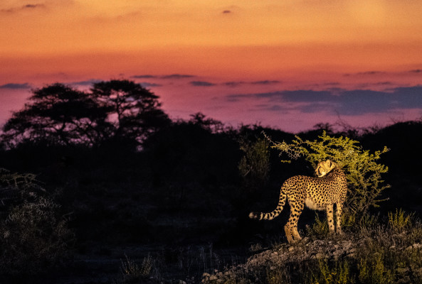 Cheetah at sunset Onguma Nature Reserve