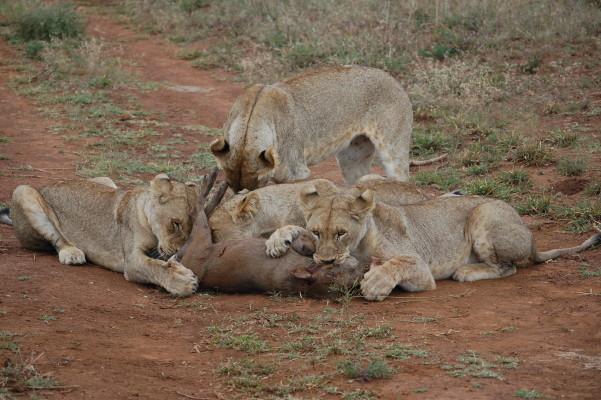 Cubs on warthog5