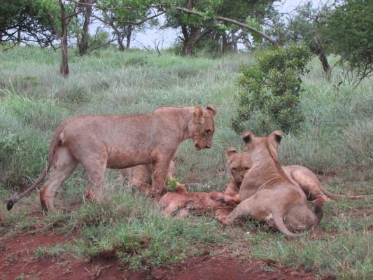 Cubs on wildebeest2