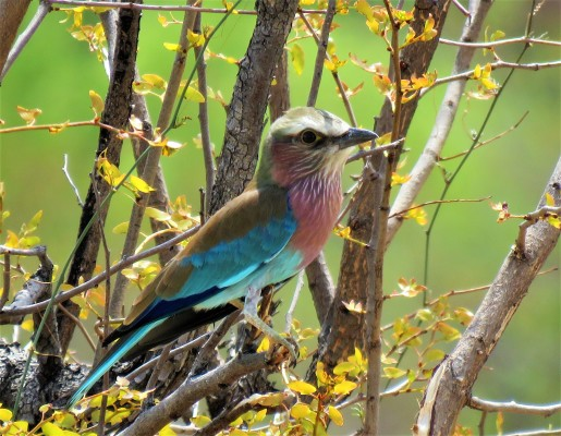 Lilac Breasted Roller (3)