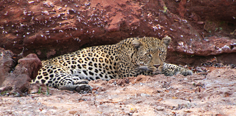 Leopard at Changa