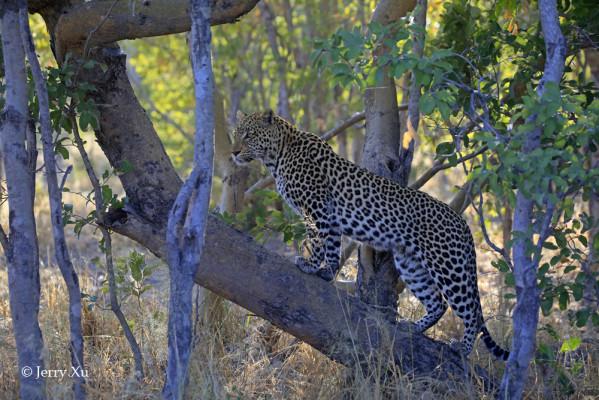 leopard savuti marsh
