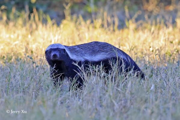 Honey badger savuti marsh