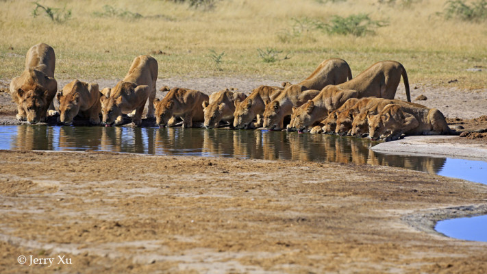 Lions at Savuti Marsh