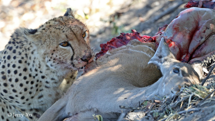 cheetah eating kudu savuti marsh