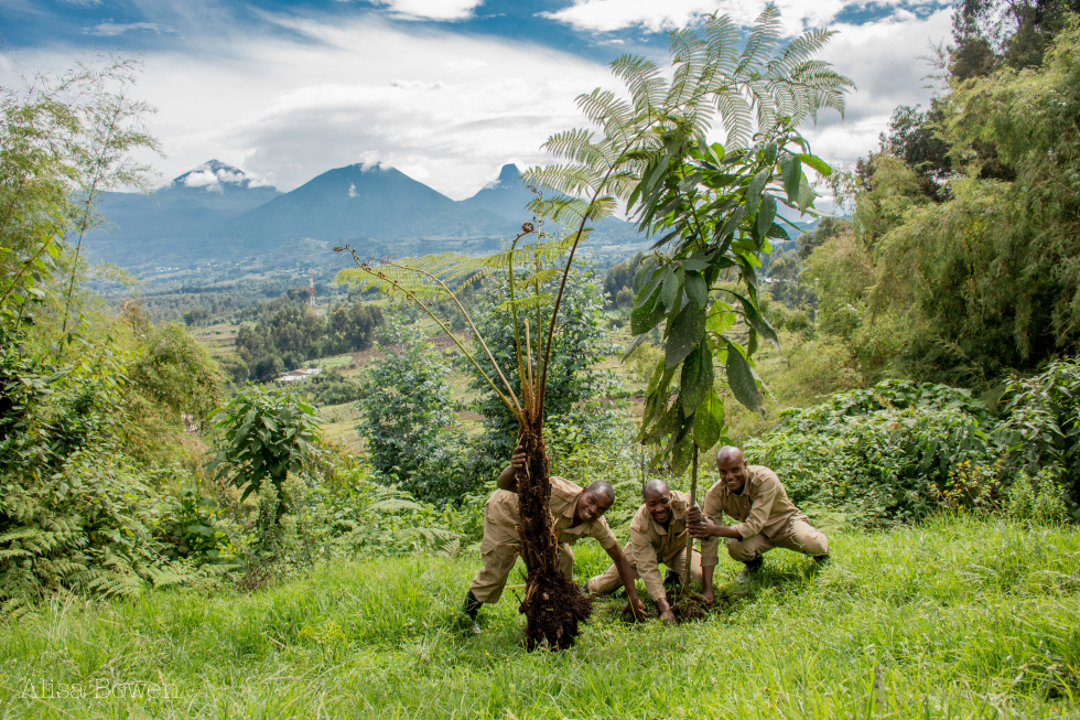 Ten years of regenerating a forest around Sabyinyo Silverback Lodge