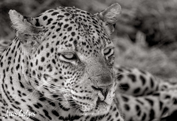 leopard in Madikwe Game Reserve
