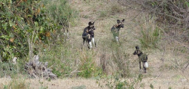 wild dogs kitich camp