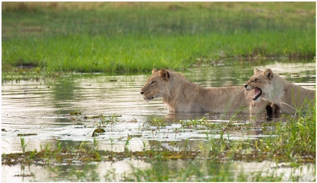 lion crossing khwai river