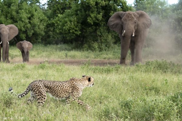 cheetah and elephant at mashatu game reserve